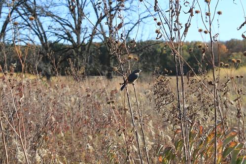 UW Arboretum - Bird in Grasslands