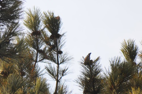 my bad White-winged Crossbill