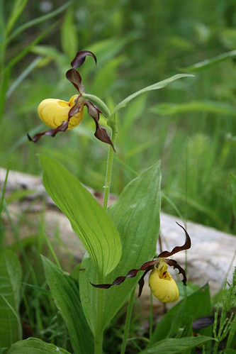 Yellow Ladyslipper
