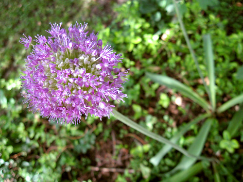 The allium in my backyard.