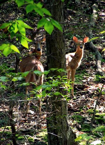 deer ears
