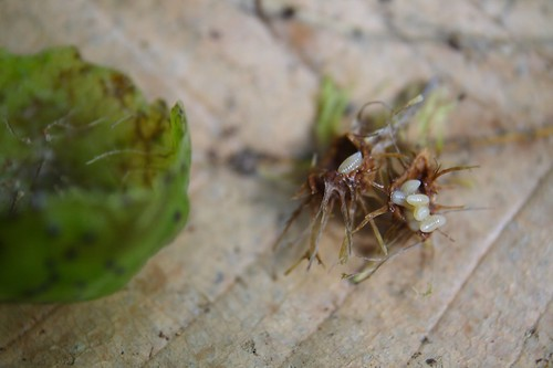 Oak Apple Gall- Larva Perhaps