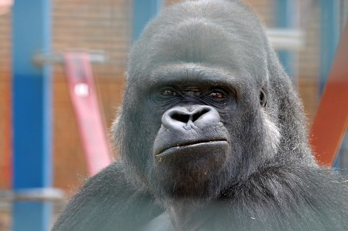 Gorilla Djanghou im Howletts Wild Animal Park