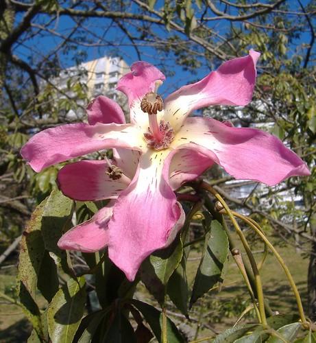 Flor de palo borracho