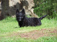 Scottie Dog on the grass 2