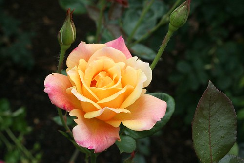 oregon_rosegarden8