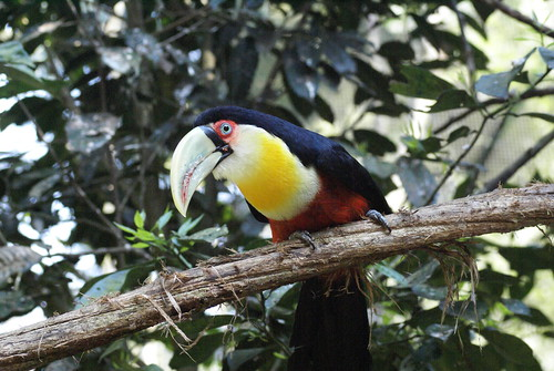 toekan in vogelpark Brazilie