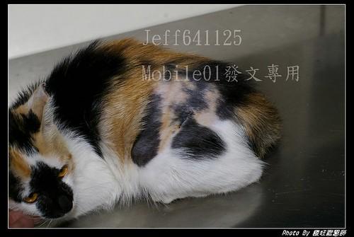動物與寵物 - 母貓結紮全紀錄 (微血腥 56張圖請注意) (第3頁) - 生活討論區 - Mobile01