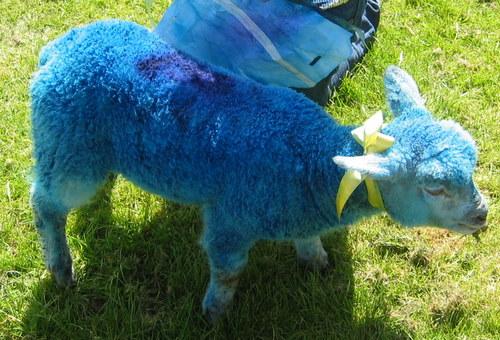 A blue lamb