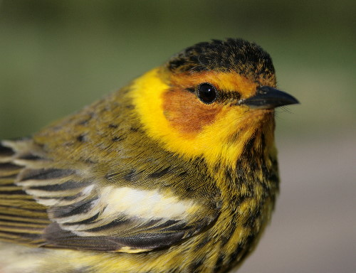 Cape May Warbler - male