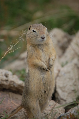 Richardson's Ground Squirrel, photo by Elron Steele, all rights reserved