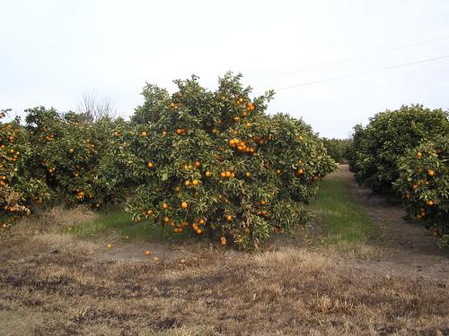 les champs d'oranges partout sur des kilometres( Chajari- Concordia)