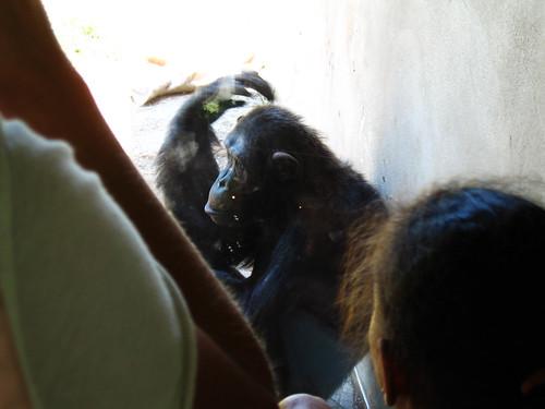 Chimps.