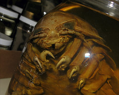 Giant isopod (Bathynomus giganteus) in the Crustacea collection of the FMNH in Gainesville, Florida