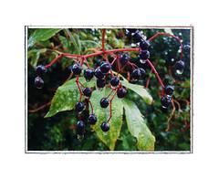 Elderberry Wine