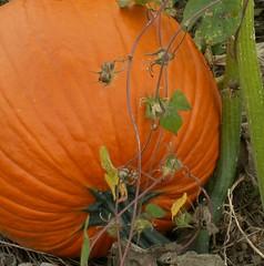 Pumpkin vine and vine...