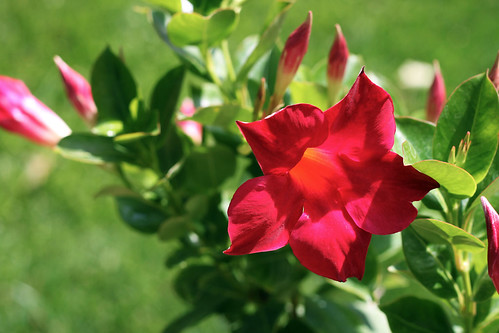 Red-Mandevilla