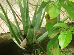 Aloe vera - planta de sabila © tuttysan, 2007