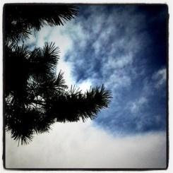 a pine needle