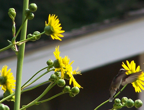 Hummingbird & Sunflower 4
