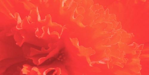 Orange Begonia 2