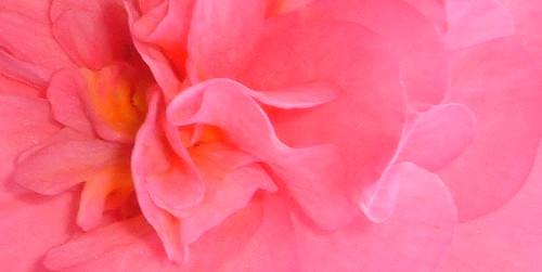 Pink Begonia 2