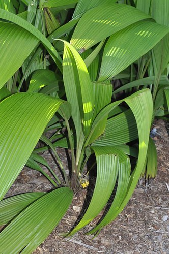 Molineria capitulata (palm grass)