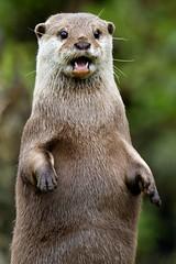 Godzilla(Oriental short-clawed otter, Edinburgh Zoo)