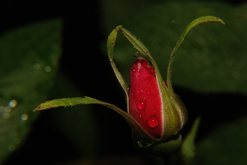 Rosebud in the rain