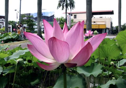 Lotus Pond5