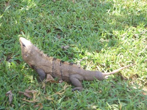 L'iguana senza coda