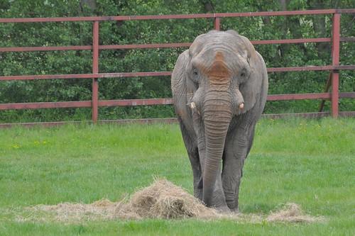 Afrikanischer Elefant Jums im Howletts Wild Animal Park