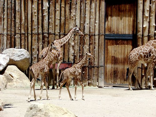 two young giraffes and two adult giraffes at the Rio Grande Zoo