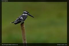 PiedKingfisher1