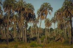 palmeraie naturelle due à une courbe dans le tracé du rio Uruguay faisant deriver à cet endroit preçis les graines de palmiers de la jungle bresilienne
