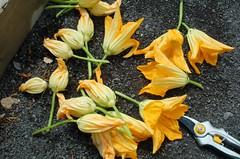 Fleurs de Zucchinis et Sécateur