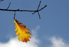 Oak Autumn Leaf - Autumn Colours Series