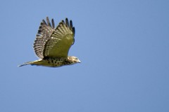 broadwinged hawk