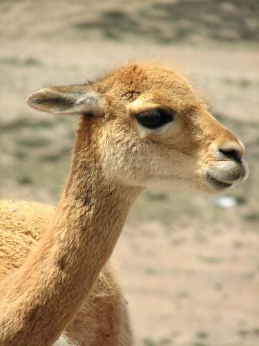 Vicuña (by morrissey)
