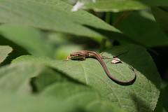 四季の森公園のカナヘビ(Shikinomori Park, Japan)