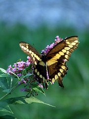 giant swallowtail 1