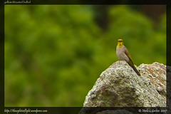 YellowThroatedBulbul