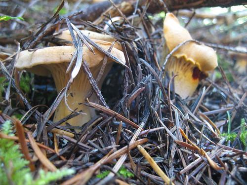 First Fall Chanterell Find