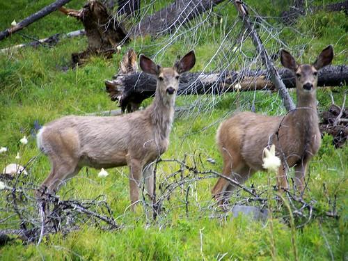 Mule deer pair.