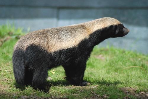 Honigdachs Tyson im Howletts Wild Animal Park