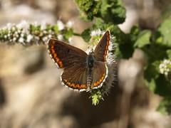 Papallona 3 (Aricia cramera)