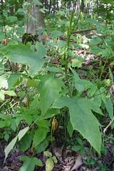 Tall White Lettuce Leaves
