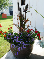 Blue and red flowers, grasses in pot