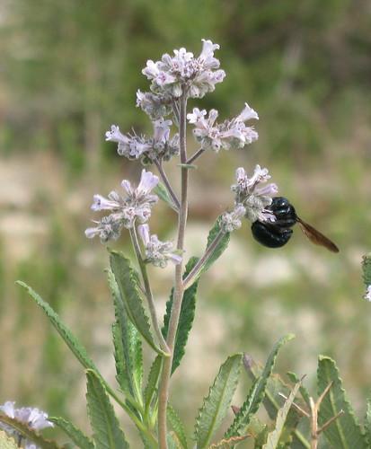 Sespe Bee Summer 2007