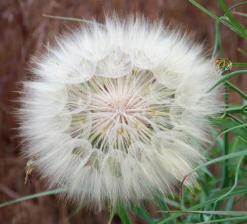 Goatsbeard - seeds